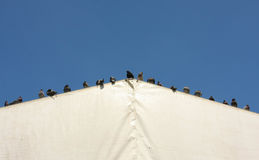 Pigeons on a tent roof royalty free stock image