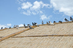 Pigeons on the thatched roof Stock Images