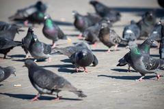 Pigeons on the town square, city life, Selective Focus. Recreation Holiday Concept royalty free stock image