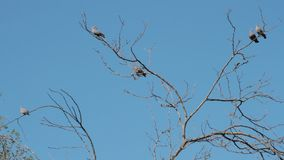 Pigeons hovering over the branches in courtship to mate stock video
