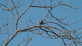 Pigeons hovering over the branches in courtship to mate stock video footage