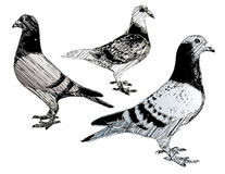 Pigeons trio Stock Photography