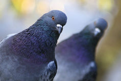 Pigeons. Two pigeons with colorful feather royalty free stock photo