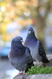 Pigeons. Two colorful pigeons on teras royalty free stock image