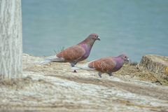 Pigeons. Two mauve pigeons stand on riverside Royalty Free Stock Photo