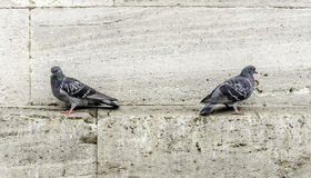 Pigeons. Two pigeons Perched On Wall Stock Image