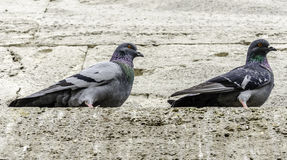 Pigeons. Two Pigeons Perched On Wall Royalty Free Stock Photo