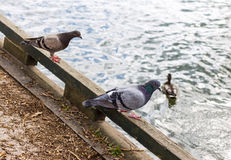 Pigeons. Two pigeons sitting on fence by lake royalty free stock image