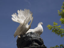Pigeons. Two white pigeon on sky background Stock Image