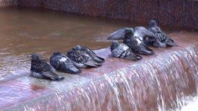 pigeons banque de vidéos