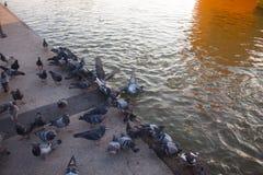 Pigeons urbains alimentant sur la place images libres de droits