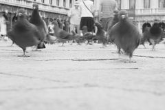 Pigeons in Venice Royalty Free Stock Photo