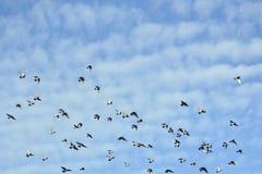 Pigeons volant au-dessus d'un ciel bleu avec quelques nuages blancs Photos stock