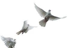 Pigeons voyageurs Image libre de droits