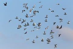Pigeons voyageurs en vol Photos libres de droits
