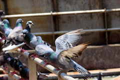 Pigeons. Waiting for more food from tourists. They are friendly and love to hover around for easy feed Stock Image
