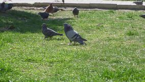 Pigeons walk on the green lawn.  stock video