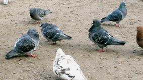 Pigeons walk on the ground in winter among manholes. They are looking for and pecking food stock video footage