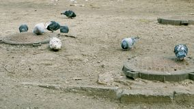 Pigeons walk on the ground in winter among manholes. They are looking for and pecking food stock video