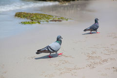 Pigeons walking on the beach Stock Image