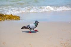 Pigeons walking on the beach Stock Photos