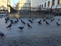 Pigeons walking Stock Photography