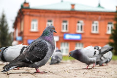 Pigeons walking on city streets. In Siberia Royalty Free Stock Image
