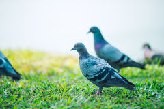 Pigeons are walking for food on grass. Stock Photography