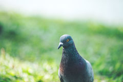 Pigeons are walking for food on grass. Royalty Free Stock Photos