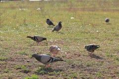 Pigeons walking on grass Stock Photos