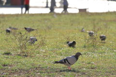 Pigeons walking on grass Royalty Free Stock Photos
