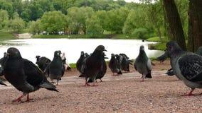 Pigeons walking in park stock video