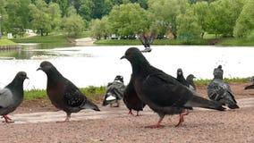 Pigeons walking in park. Daytime stock video footage