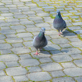 Pigeons Walking in the Park Stock Photo
