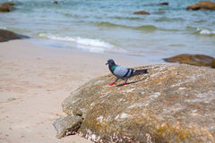 Pigeons walking on the rock Royalty Free Stock Images