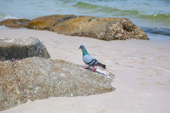 Pigeons walking on the rock Royalty Free Stock Photography