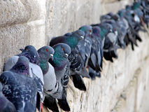 Pigeons on wall Stock Images