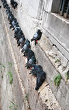 Pigeons on the wall Stock Photos