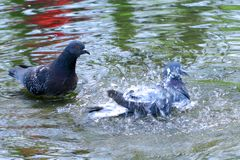 Pigeons wallow in the water royalty free stock photo
