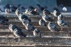 Pigeons warming themselves on the stone steps in Moscow Stock Image