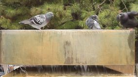 Pigeons on water fountain Stock Images