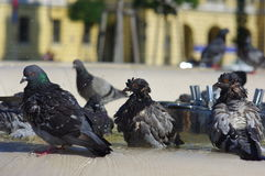 Pigeons on water. Puffed pigeons standing in water puddle on the fountain Royalty Free Stock Photography