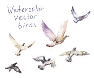 Pigeons watercolor Stock Image