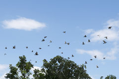 Pigeons were flying in the blue sky. Royalty Free Stock Photo