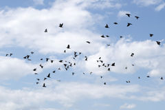 Pigeons were flying in the blue sky. Stock Image