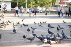 Pigeons were flying down to eat. Royalty Free Stock Photos