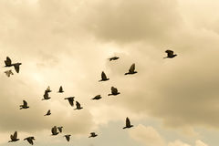Pigeons were flying in the evening sky. Stock Photo