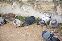 The pigeons Stock Photography