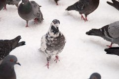 Pigeons on white snow in city Stock Image