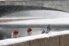 Pigeons winter Stock Images